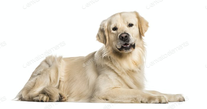 Golden Retriever dog lying, cut out