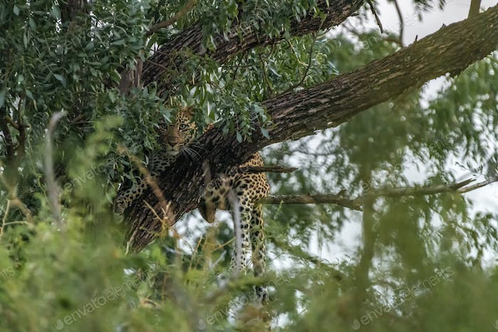 Leopard, Panthera pardus, in a tree