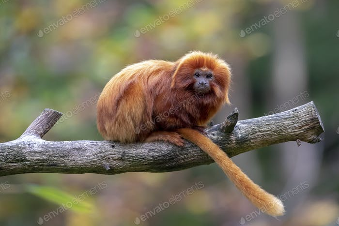 Lion tamarin portrait