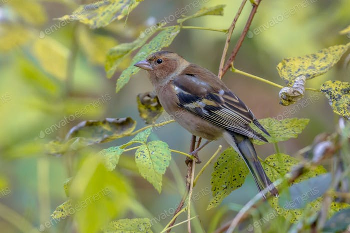 Thumbnail for Female Chaffinch between leaves