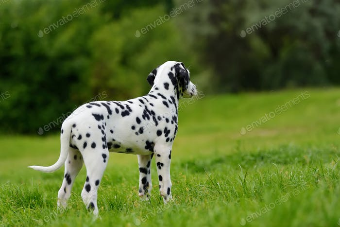 Dalmatian dog outdoors in summer