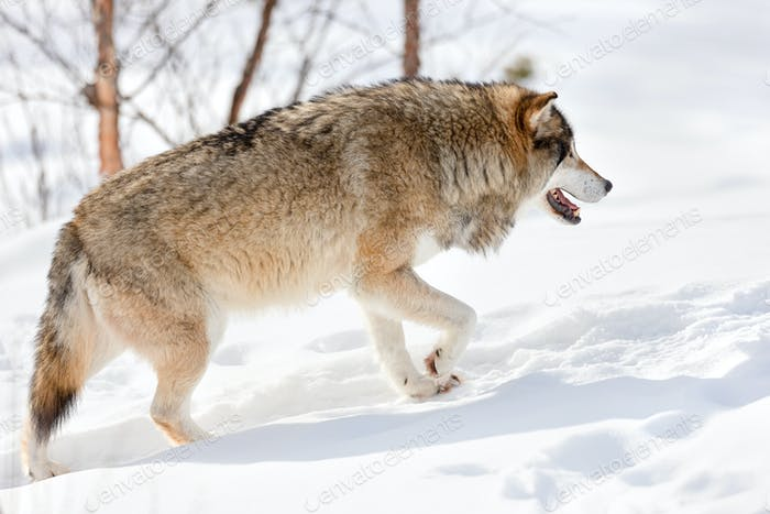 Side view of furry Eurasian wolf strolling on snow