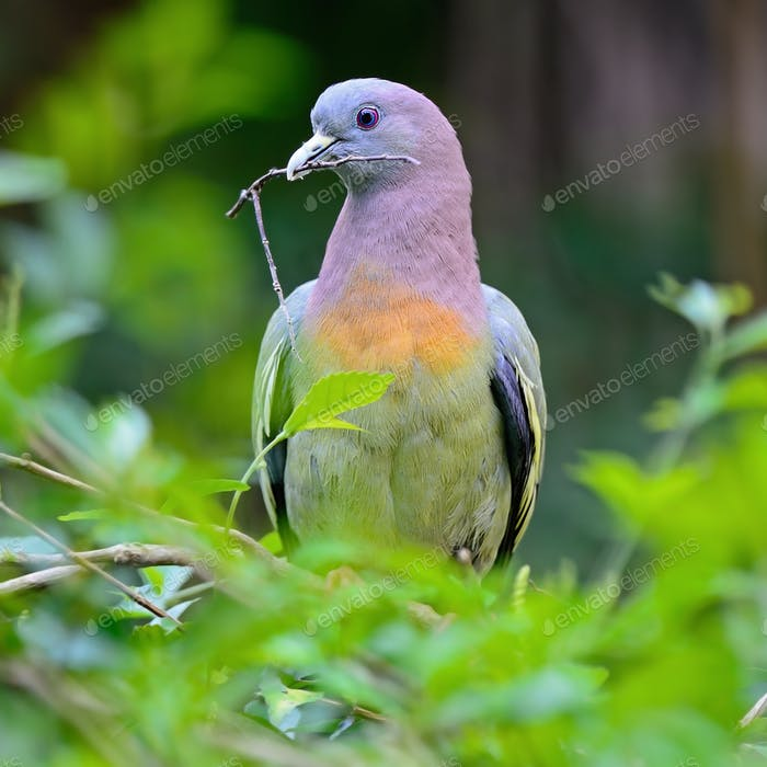 Male pink-necked green-pigeon2