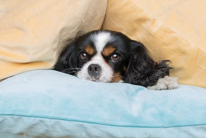 Funny dog under the pile of pillows