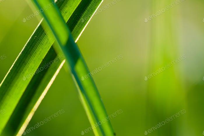 Grass. Close up