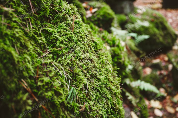 Macro photography of green moss on stones in a northern forest. Nature background.