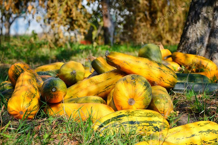 Ripe orange pumpkins at the field in autumn