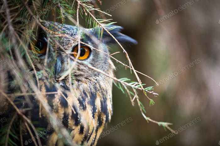 Eagle Owl, Bubo bubo
