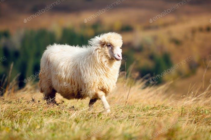 Ein weißes Schaf auf einer Alm. Sonniger Herbsttag