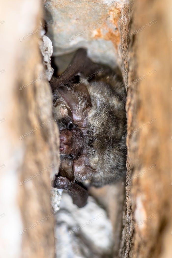 Grey long eared bat roosting