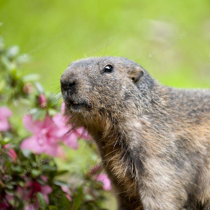 Alpine Murmeltieren - Marmota