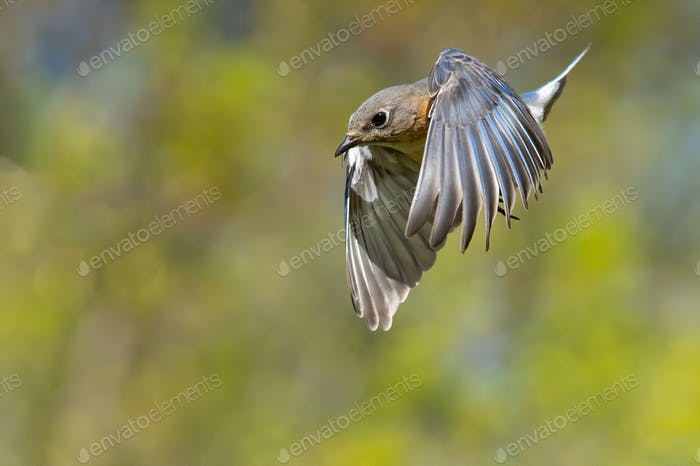 Eastern Bluebird in a Dive