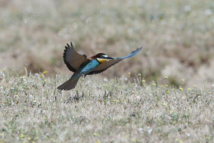 Thumbnail for European bee-eater (Merops apiaster)