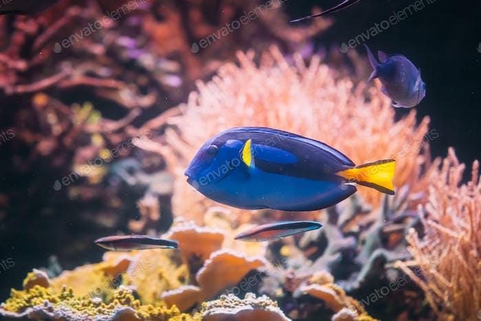 Blue Tang Fish Paracanthurus Hepatus Swimming In Water. Popular