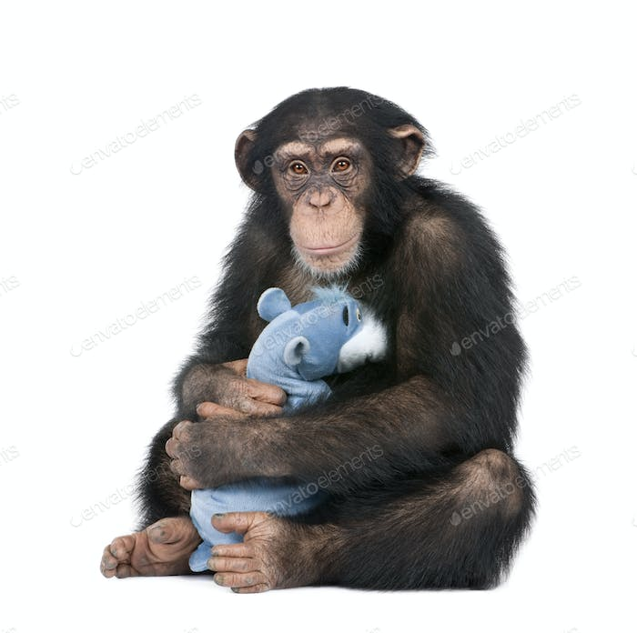 Young Chimpanzee with his teddy bear- Simia troglodytes (5 years old)