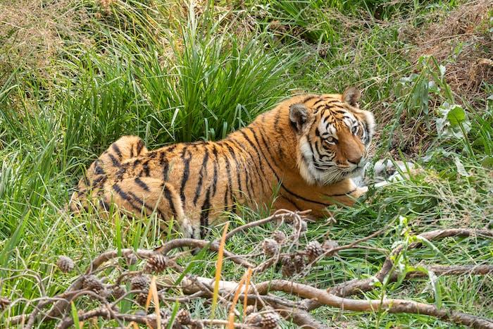 Tiger, Panthera tigris, the largest feline species