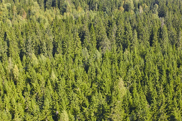 Finland green pine forest landscape. Finnish timber industry. Horizontal