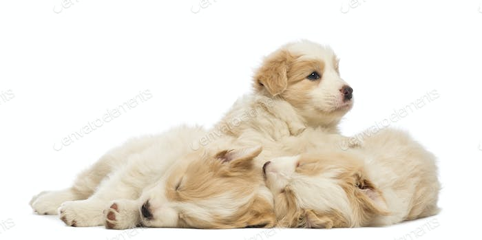 Border Collie puppies, 6 weeks old, lying, sleeping and one is awake