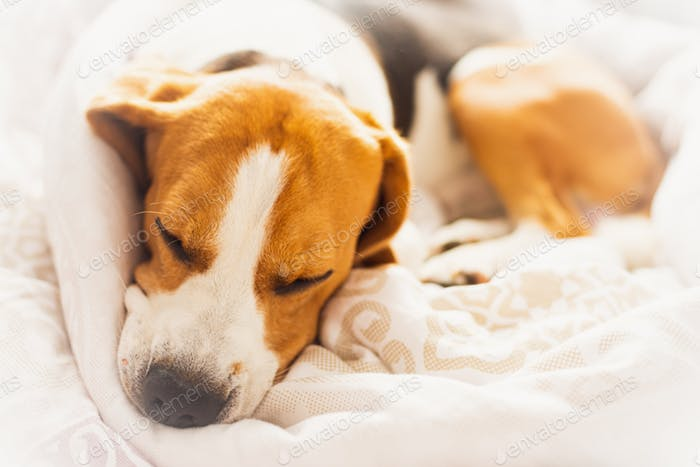 Beagle dog snuggled up and asleep in human bed