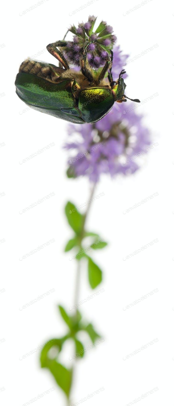Rosenscheufer, Cetonia aurata, auf Pflanze vor weißem Hintergrund