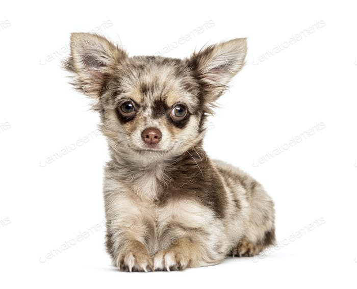 lying down Chihuahua, isolated on white