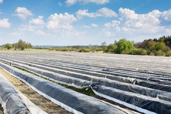 Asparagus field covered with plastic foil