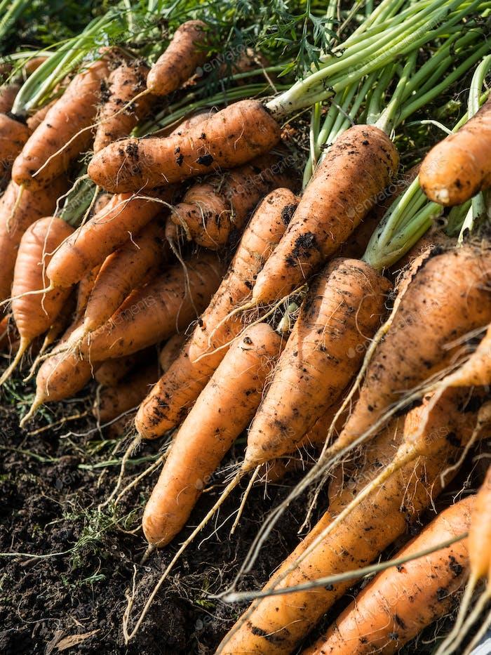Freshly picked carrot