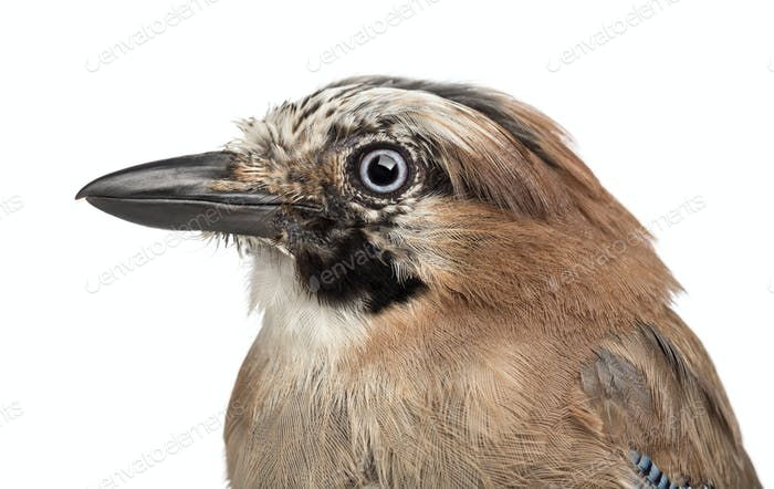 Eurasian Jay, Garrulus glandarius, 8 years old against white background