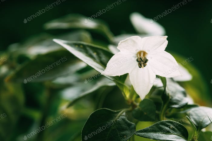 Small Young White Flower Blooming Of Organic Red Pepper Plant. G