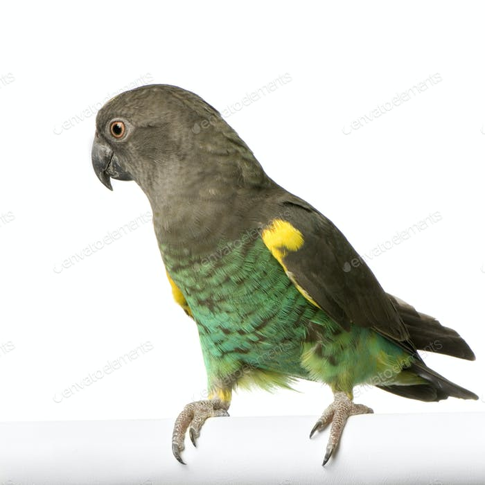Meyer's Parrot - Poicephalus meyeri