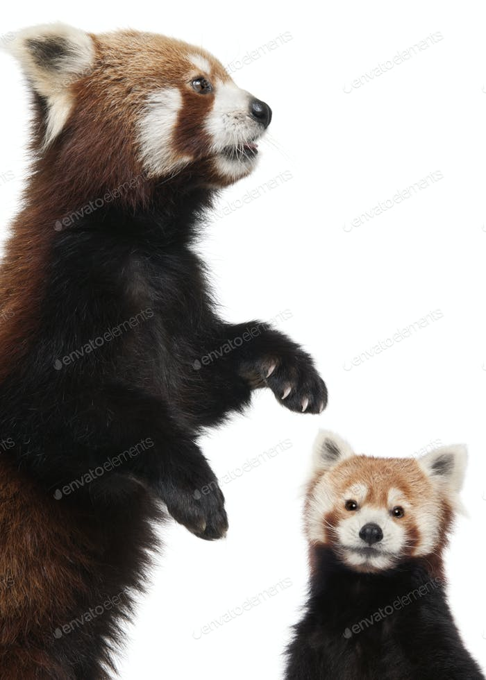 Alte rote Pandas oder glänzende Katzen, Ailurus fulgens, 10 Jahre alt, vor weißem Hintergrund