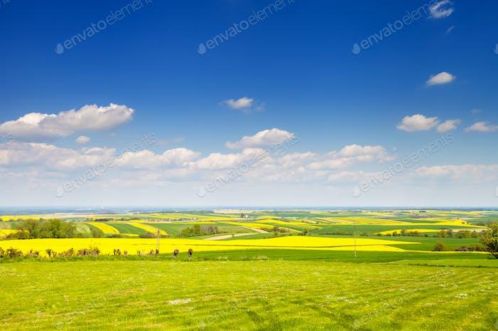 Gelbe und grüne Landwirtschaft Rapsfeld Landschaft Canola oder Raps