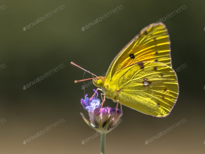 Clouded Yellow butterfly feeding on nectar