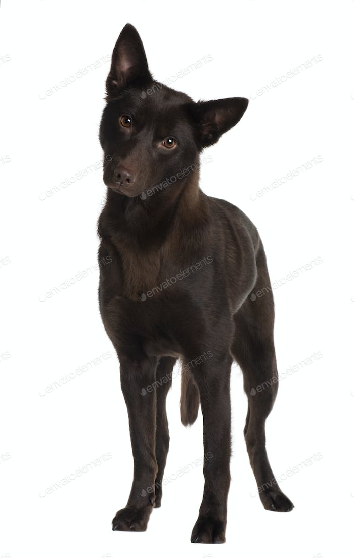 Australian Kelpie, 11 years old, standing in front of white background