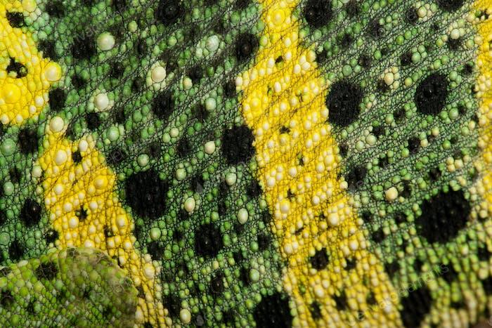 Close-up of Meller's Chameleon skin, Giant One-horned Chameleon, Chamaeleo melleri