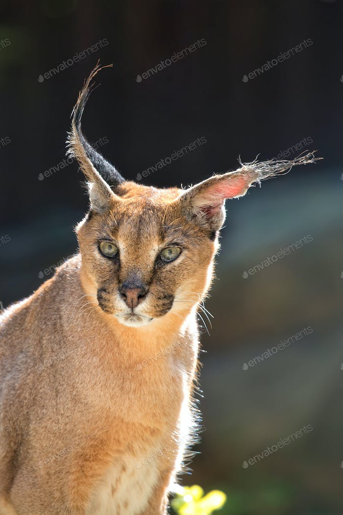 Caracal, a portrait