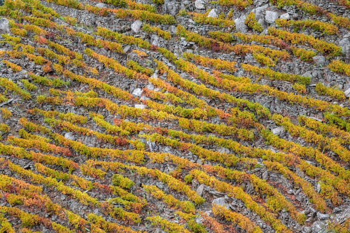 Vineyards in neat rows in the Ribeira Sacra