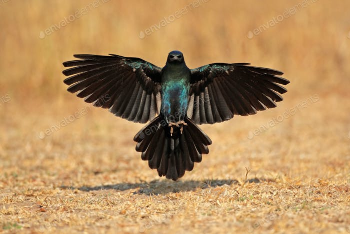 Burchells starling landing