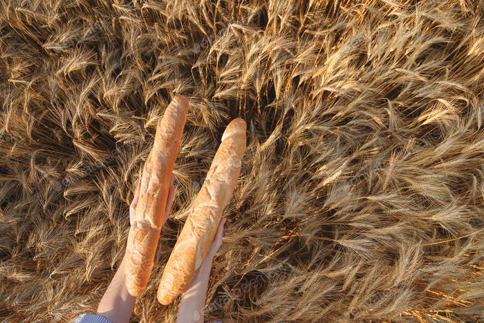 Two Crusty french baguettes in women's hands over ripening ears of yellow wheat field, top view