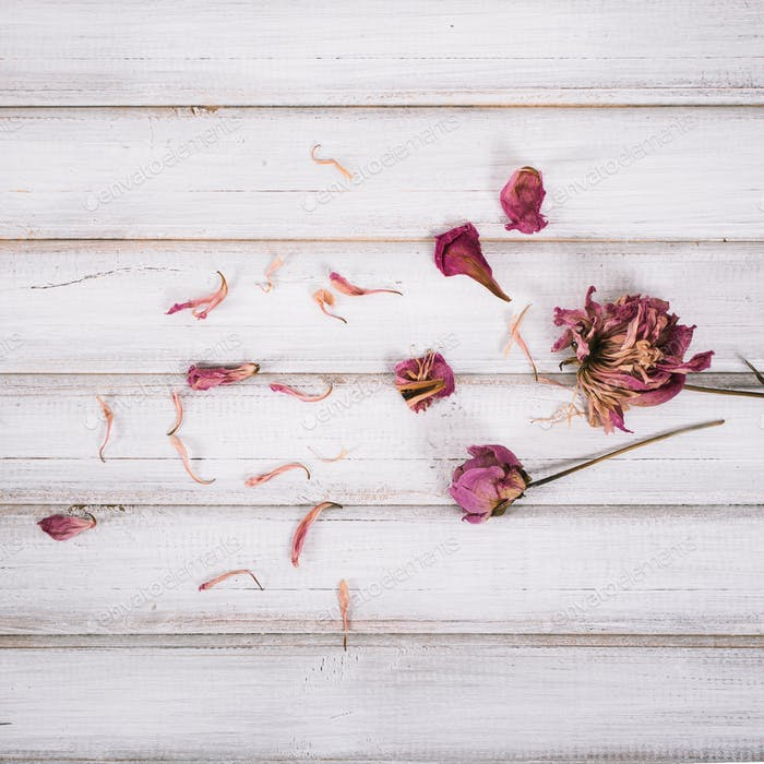 Dried pink peonies heads and petals on rustic wooden background