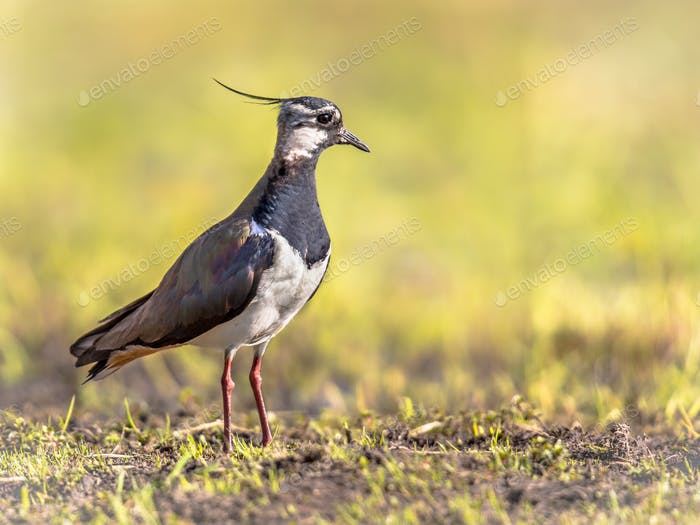 Northern Lapwing on bright green background
