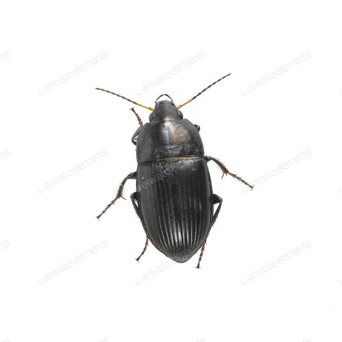 Black beetle on a white background