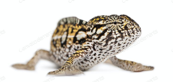 Young Panther Chameleon, Furcifer pardalis, in front of white background