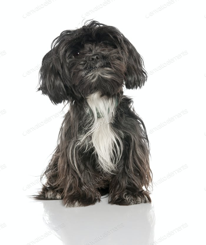 Mixed-Breed Dog between a yorkshire and a Lhasa Apso (2 years old)