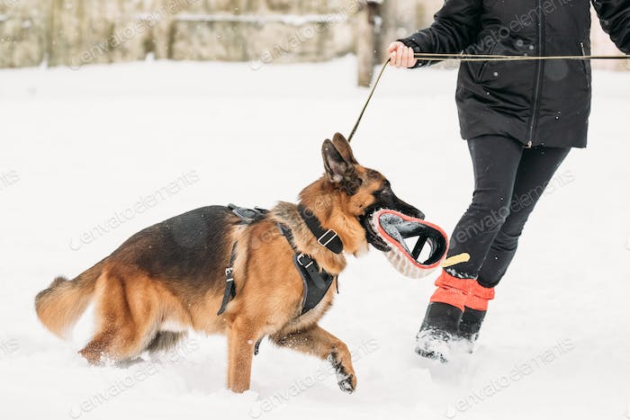 German Shepherd Dog Walking Near Owner During Training. Winter S