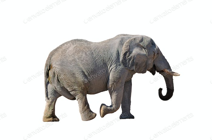 African Elephant walking isolated in white