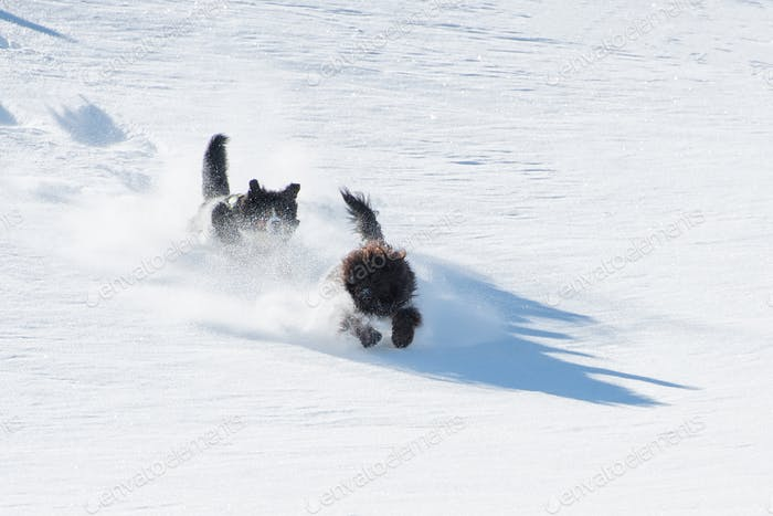 Two dogs run and jump in powder