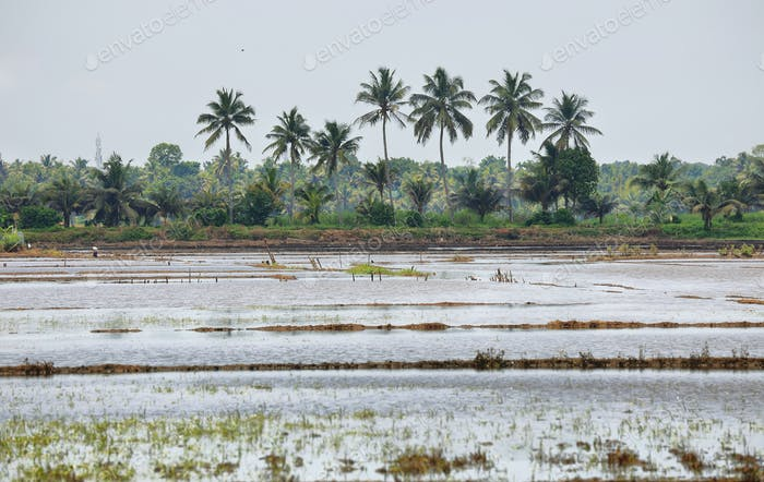 Paddy fields flooded near Kumarakom, Kerala, India