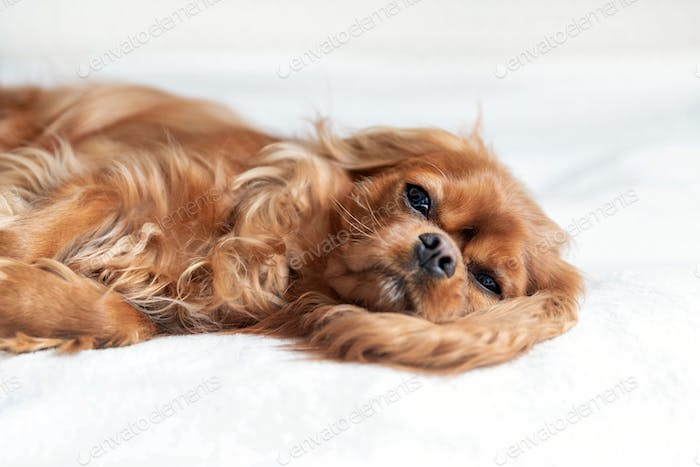 Adorable dog, cavalier spaniel