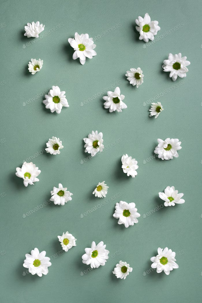 Daisy pattern. Top view. Flat lay. Floral pattern of white chamomile flowers on green background